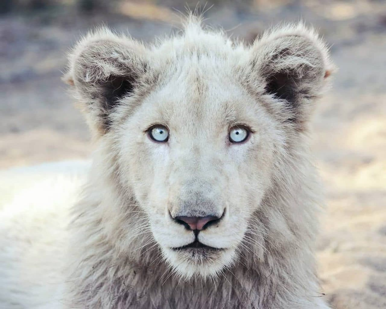 Travel Photography By Anastasia Vervueren South Africa White Lion Cub