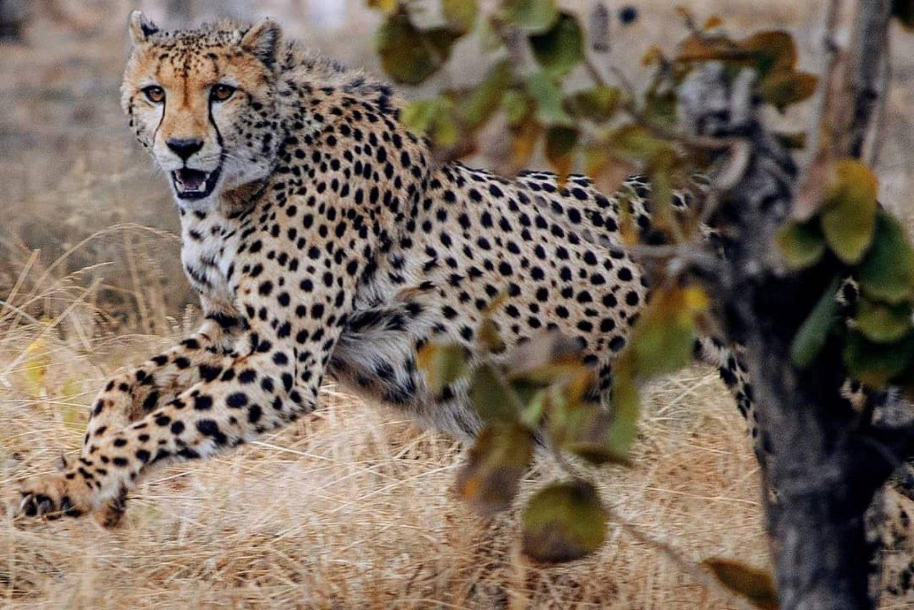 Travel Photography By Anastasia Vervueren South Africa Wildlife Cheetah