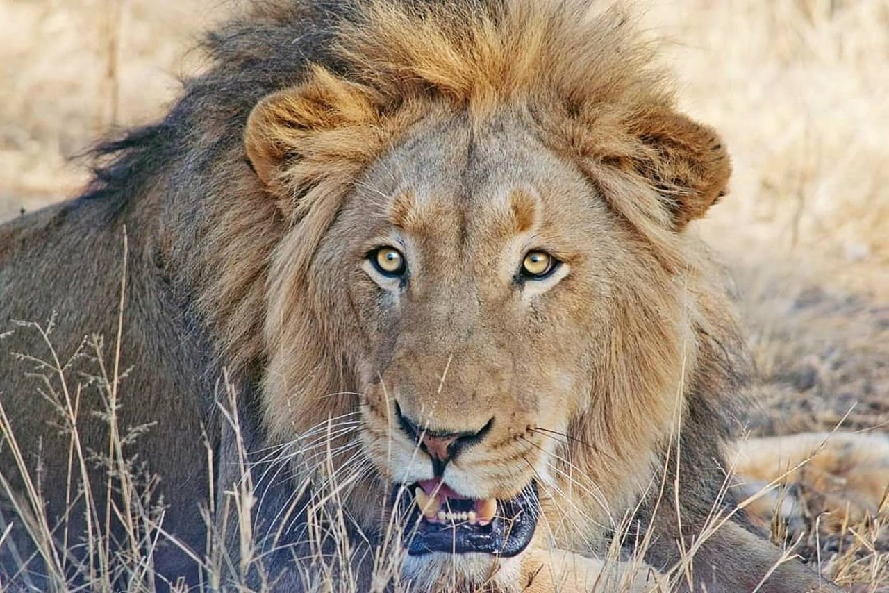 Travel Photography By Anastasia Vervueren South Africa Lion