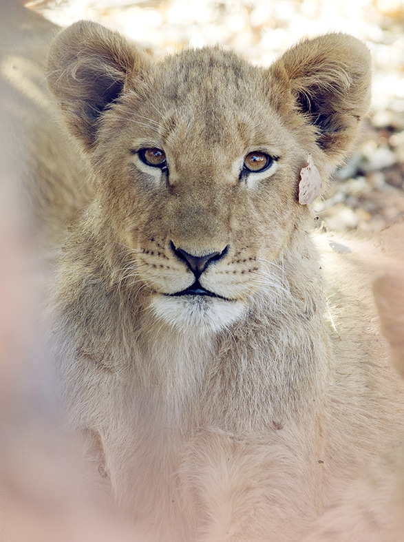 Travel Photography By Anastasia Vervueren South Africa Lion Cub