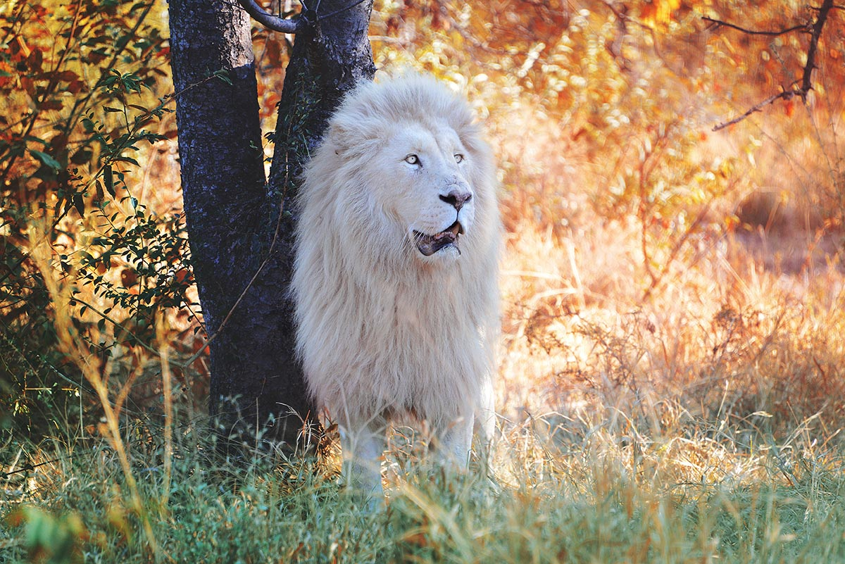 Travel Photography By Anastasia Vervueren South Africa White Lion