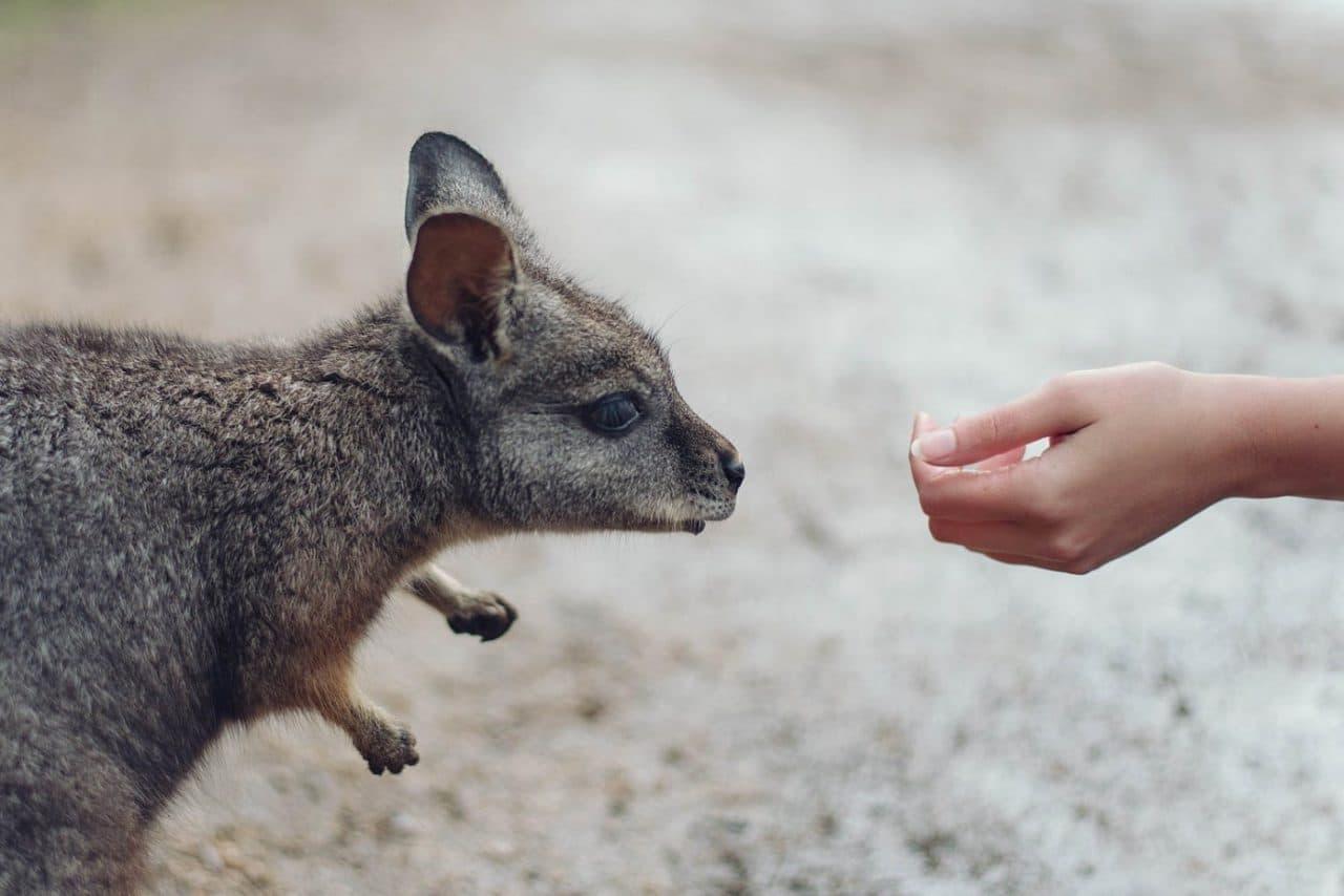 Travel Photography By Anastasia Vervueren Australia Wallaby Wildlife